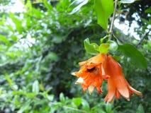 Frucht der Granatapfelblumen Lizenzfreies Stockbild