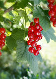 Frucht der roten Johannisbeere Stockfoto