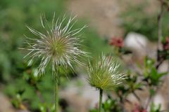 Frucht des alpinen pasqueflower oder der alpinen Anemone Stockbilder