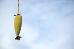 Frucht des Baobabbaums Stockfotos
