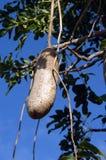 Frucht des Wurst-Baums Stockfotografie