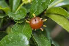 Frucht des Zahnbürstenbaums Lizenzfreies Stockfoto