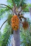 Frucht, die von der tropischen Palmen-Anlage hängt Lizenzfreies Stockbild