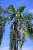 Frucht, die von der tropischen Palmen-Anlage hängt Lizenzfreie Stockfotos