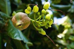Frucht einer exotischen thailändischen Anlage auf einer Niederlassung Lizenzfreies Stockfoto