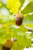 Frucht eines Eichenbaums reif im Herbst stockfoto