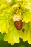 Frucht eines Eichenbaums reif im Herbst lizenzfreies stockfoto