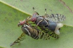 Frucht-Fliegen stockbilder