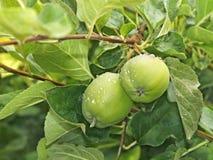 Frucht mit zwei kleine grüne Äpfeln Stockfotografie