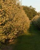 Frucht Ridge Hill Apple Tree Stockfoto