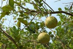 Frucht in Thailand Lizenzfreie Stockfotografie
