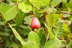 Frucht- und Acajoubaum Lizenzfreie Stockfotografie
