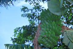Frucht und Bananenstauden Stockfotos