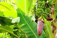 Frucht und Bananenstauden Stockfotografie