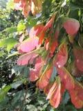 Frucht von Tatarian-Ahorn Lizenzfreies Stockbild