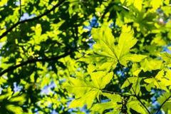 Fruchtbare grüne bigleaf Ahorn Acer-macrophyllum Krone Lizenzfreie Stockfotos
