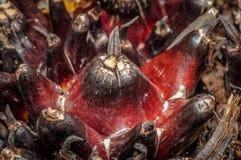 Fruchtbare Kaminsimsfrüchte der Ölpalme Stockfotos
