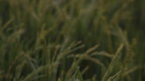 Fruchtbarer Reispaddy von Unschärfe zu Fokus stock footage
