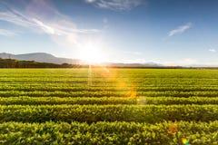 Fruchtbares landwirtschaftliches Feld von organischen Ernten in Kalifornien Lizenzfreies Stockfoto
