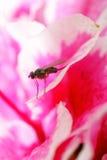 Fruchtfliege auf dem Rhododendron Lizenzfreies Stockbild