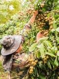 Fruchtgärtner, der ein Bündel des frischen Longan während des Regens, Chia croping ist Stockbilder