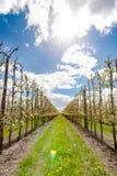 Fruchtobstgarten mit Apfel blüht im Frühjahr Lizenzfreie Stockfotografie