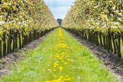 Fruchtobstgarten mit Apfel blüht im Frühjahr Lizenzfreie Stockfotos