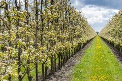 Fruchtobstgarten mit Apfel blüht im Frühjahr Stockfotos