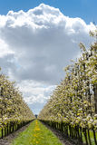Fruchtobstgarten mit Apfel blüht im Frühjahr Stockbild