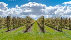 Fruchtobstgarten mit Apfel blüht im Frühjahr Stockbilder