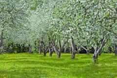 Fruchtobstgarten ` s erste Frühlingsblüten Lizenzfreie Stockfotos