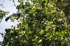 Fruchtschläger in den Tropeninseln der Seychellen Lizenzfreie Stockfotos