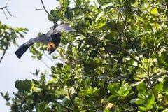 Fruchtschläger in den Tropeninseln der Seychellen Stockfotografie