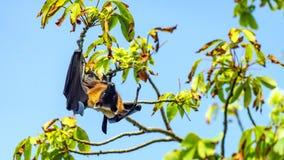 Fruchtschläger, Flughundfliegen-Hundehängende Oberseite auf einem Baum, Malediven stockbilder
