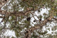 Fruchtschläger im hundertjährigen Park, Sydney australien Stockbilder