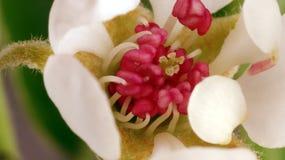 Fruchtstand-Apfelbaum lizenzfreie stockfotografie