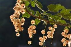 Fruchtwachsen der Weißen Johannisbeeren auf dem Busch und bereits reif stockfotos
