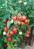 Fructification abundante dos tomates imagens de stock royalty free