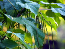 Fructification of Catalpa. Royalty Free Stock Images