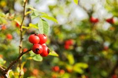 Fructus cynosbati. Red fruits of rose hips on a bush Stock Image