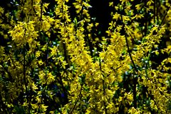 Fructus forsythiae bloom. The flowers are blooming everywhere Royalty Free Stock Photo