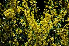Fructus forsythiaeblom Royaltyfri Foto