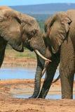 Frugare degli elefanti Fotografie Stock