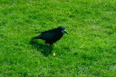Frugilegus Corvus - κοράκια και κόρακες Stonehenge Στοκ Φωτογραφία
