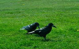 Frugilegus Corvus - κοράκια και κόρακες Stonehenge Στοκ φωτογραφία με δικαίωμα ελεύθερης χρήσης
