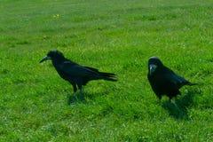 Frugilegus Corvus - χαρακτηριστικοί αγγλικοί κοράκια και κόρακες Στοκ εικόνες με δικαίωμα ελεύθερης χρήσης