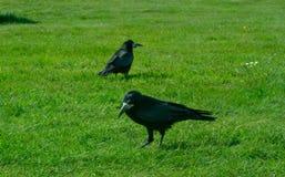 Frugilegus Corvus - χαρακτηριστικοί αγγλικοί κοράκια και κόρακες Στοκ Εικόνα