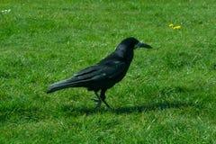 Frugilegus Corvus - χαρακτηριστικοί αγγλικοί κοράκια και κόρακες Στοκ Φωτογραφία