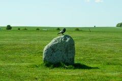 Frugilegus Corvus - χαρακτηριστικοί αγγλικοί κοράκια και κόρακες Στοκ εικόνα με δικαίωμα ελεύθερης χρήσης