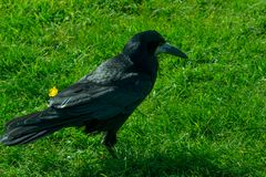 Frugilegus Corvus - χαρακτηριστικοί αγγλικοί κοράκια και κόρακες Στοκ Εικόνες